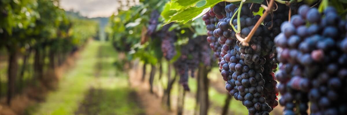 Lieblicher Rotwein: Aromenfülle und Fruchtsüße